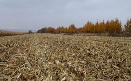 """玉米秸秆粉碎直接当""""肥料""""?这样做下茬小麦要遭殃!"""