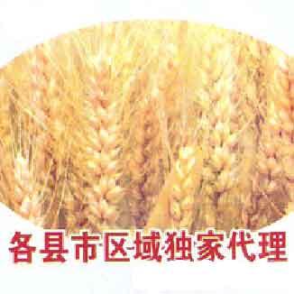 古温国审豫麦49号