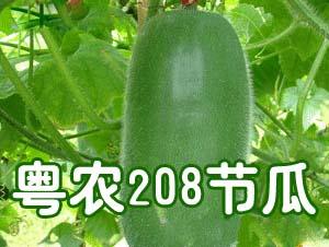 粤农208节瓜