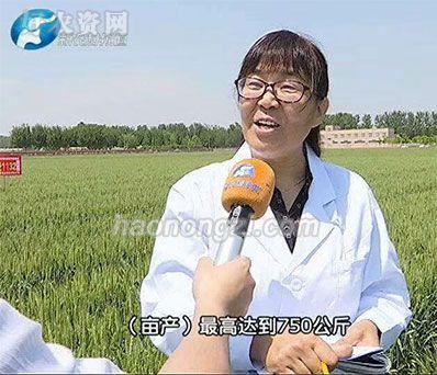 河南新农村频道对小麦的报道