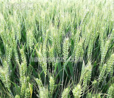 小麦现场观摩会